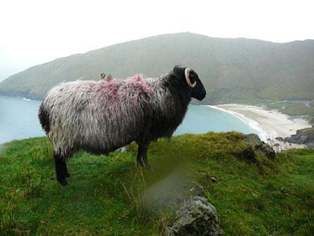 Pecora Achill Island, Irlanda