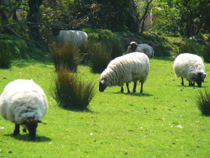 Le pecore in Irlanda