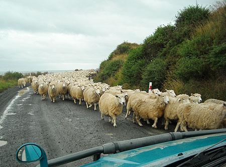 Bloccate dalle pecore in Nuova Zelanda