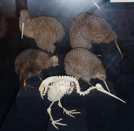 Opossum  e Kiwi, Nuova Zelanda