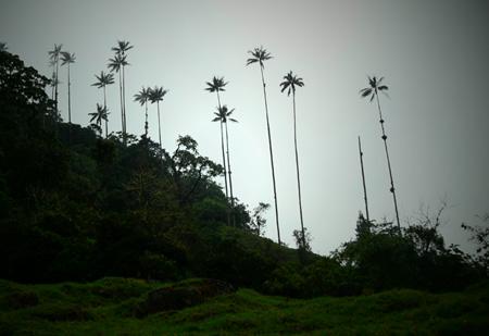 Palme di cera, valle di Cocora, Colombia