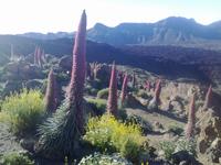 Tajinaste, fiori del Teide, Tenerife